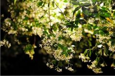 Night Blooming Jasmine The most amazing scent!