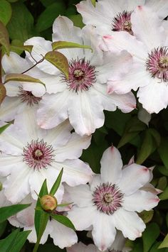 Snow Queen clematis.