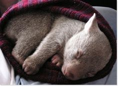 The Wombat Who Fell Asleep In A Little Hat   The 25 Most Important Wombats Of All Time