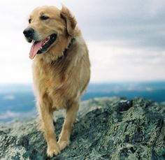 Beautiful Golden Retriever :D