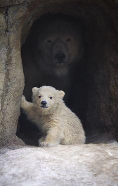 Polar bear and cub
