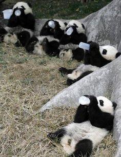 ♥ Baby Pandas ♥ #baby pandas #bottles #photography
