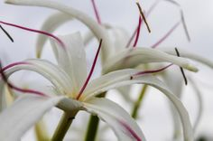 Crinum Lily, Fine and Beautiful | Hawaii Pictures of the Day