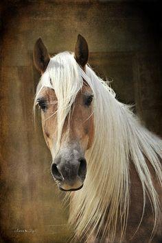 blonde horse, halflinger horse