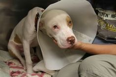 Help Calvin, a 9 Month Puppy, Heal his Dislocated Hip, Heart and Home. http://doghouseadoptions.org