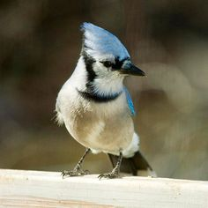 Blue Jay attract blue, shell, peanut, attract songbird, winter garden, backyard, blue jay, birds, blues
