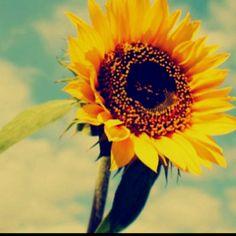 Sunflowers :)
