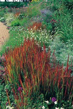 Designing with Ornamental Grasses   Louisiana Gardener Web Articles, Japanese blood grass