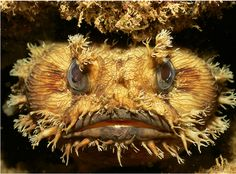 A Banded Toadfish