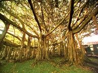 When near the Edison & Ford Winter Estates' west entrance, see the Banyan trees intertwined together.