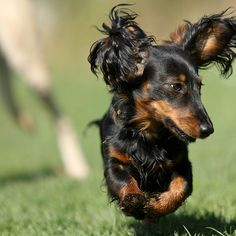 flying long-haired doxie!