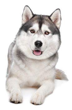 anim, dogs, pet, siberian huskies, ador, puppi, dream houses, friend, siberian huskys