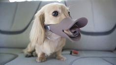 Duckbill Muzzle Turns Dogs Into Ducks - DesignTAXI.com