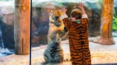 Twins! Tiger tricked by little boy in tiger suit