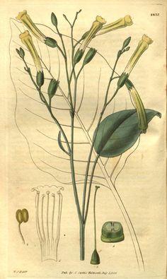 Nicotiana glauca (Tabaco moruno)