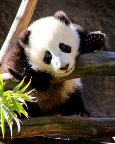 Cute panda bear picture