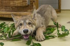 Puppy Love! Shadow the wolf pup stole our hearts. Who could resist that smile!?