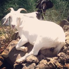 There were 65 goats goats used to help clear Tanner Creek Park of weeds.
