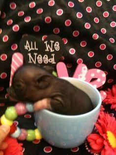 teacup pigs for sale www.pamperedpiglets.com