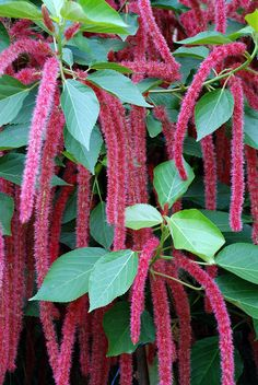 Chenille Plant or Red Hot Cat's Tail (Acalypha hispida) in the Enid A. Haupt Garden.