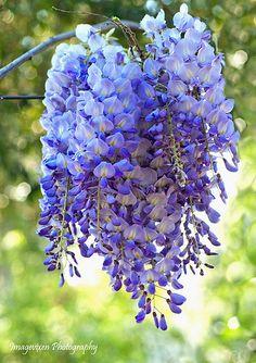 flower garden, flore exotica, grow wisteria, natur beauti, beauti flower