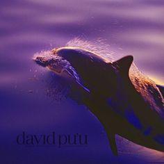 Dolphin sunset #dolphinphoto #davidpuu