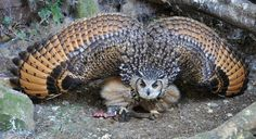 Owl display when threatened