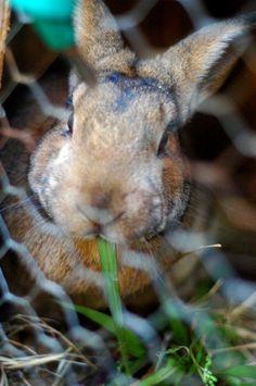 naturally feeding meat rabbits