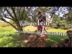 Willow Tea Organic Rooting Hormone - Home Made Rooting Hormone - YouTube