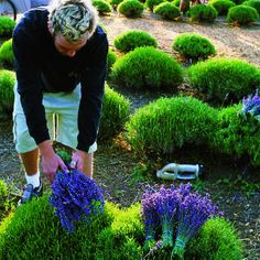 Grow lavender like a pro, tips for growing lavender