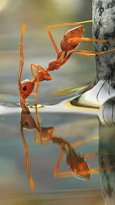 A very thristy ant standing on water, getting a drink is an amazing photo.