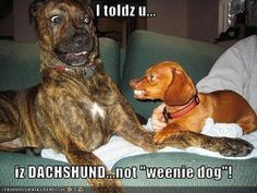 dachshund dachshund