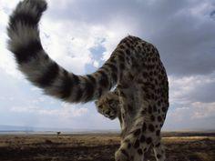 Maasai Mara National Reserve - leopard