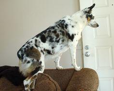 Caedyn - Texas Heeler, waiting for dad.