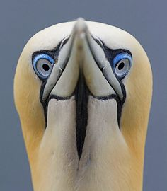 Portrait of a Gannet by sparky2000