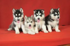 Look Kaitlyn...Miniature Siberian Husky Puppies...all of the husky you love, just smaller!!