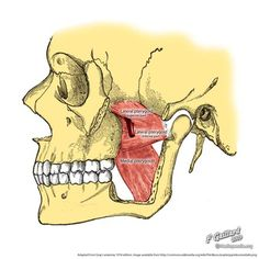 lateral pterygoid cadaver - photo #20