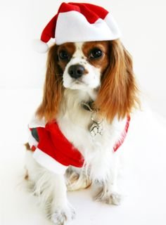 Chester, the Cavalier King Charles Spaniel Eleni's mascot, dressed for the season