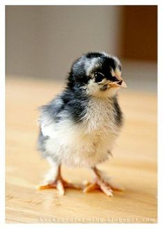 new babies, backyard chicken, backyard farming, babi chic, baby chickens, chicken 101, how to keep chickens, baby chicks, farm chickens