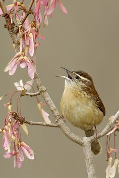 Carolina Wren--state bird of South Carolina