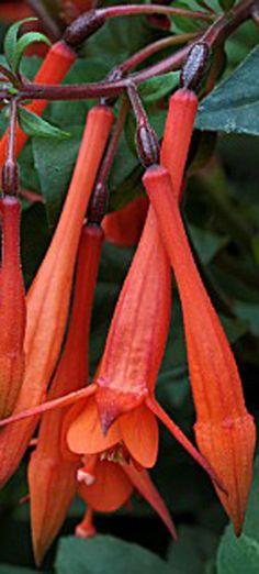 Upright fuchsia 'Insulinde'