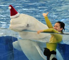 A white beluga whale wears a Santa hat to attract visitors at the Hakkeijima Sea Paradise aquarium in Yokohama, on Nov. 13, 2011. Christmas attractions started at the aquarium and will be held through Christmas Day.  Yoshikazu Tsuno / AFP/Getty Images