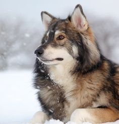The Utonagan is a breed of dog that resembles a wolf, but in fact is a mix of three breeds of domestic dog: Alaskan Malamute, German Shepherd, and Siberian Husky. So flippin beautiful. gorgeous.