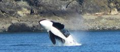 Whale Watching Tours - Orcas Island