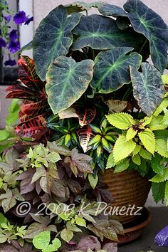 'Black Magic' Elephant's Ear (Colocasia), 'Petra' Croton, 'Sweet Caroline Bronze' Potato Vine, Coleus, 'Sonic Salmon' New Guinea Impatiens