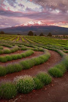 Sunset over the lavender fields and Mt Shasta - California, USA