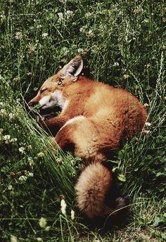 Red fox grass nap