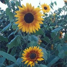 HOW TO GROW SUNFLOWERS! (Sowing seeds in pots, moving to yard etc.)  NOTE: SUNFLOWERS ARE ANNUALS...