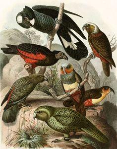 Mutzel, Gustav, 1839-1893: Parrots, including kea, kaka and kakapo. Tab 18. Druck u. Verlag von Th. Fischer, Cassel. Lithograp...