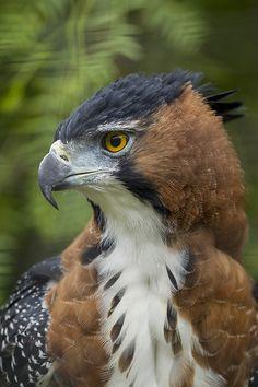 Ornate Hawk Eagle  (by San Diego Zoo Global)